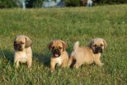 Potty trained Puggle Puppies For Adoption