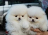 #9733; Cute Pomeranian Puppies Available For Adoption