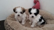 White shih tzu Puppies