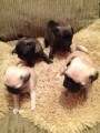 Quality pug puppies available