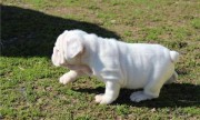 Beutifull American Bulldog Puppies for Rehoming