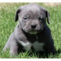 Beautiful Pitbull Puppies for Adoption!!,,,,