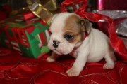 Cute English Bulldog Puppies For Sale98