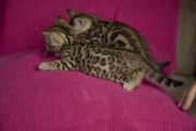 Bengal Kitten Available For rehoming 099