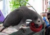 الحديث الرمادي الأفريقي الطيور والببغاوات البيض للبيع
