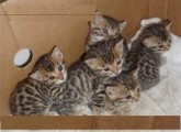 Bengal Kittens for Adoption Contact (jasonblere9@>g>m>a>i>l.c>o>