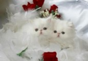 Toy Persian kittens  for  adoption Contact (jasonblere9@>g>m>a>i