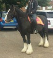 beautiful gypsy vannner horse for sell