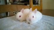 Healthy and lovely male and female Bunnies