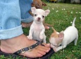 Home trained chihuahua puppies ready for re-homing	22