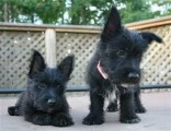 Scottish terriers Puppies Available