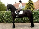 Good Friesian Horses ready to go Now