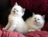 Cute Ragdoll Kittens for Re homing now