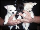 Good looking Beutifull Chihuahua Puppies for Rehoming