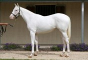 Pure white Arabian Mare!exotic White Silk horse for sale