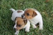 Two Adorable Jack russell Puppies  for sale