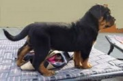 Cute Male and female Rottweiler  puppies for sale