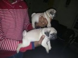 Adorable male and female Pug Puppies for sale!