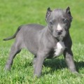 Adorable bluenose American pitbull terrier puppies for adoption