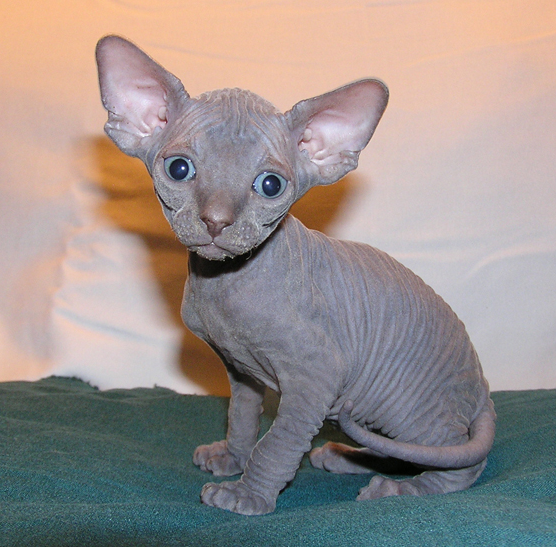 Cute Sphynx Kittens Available For Sale111